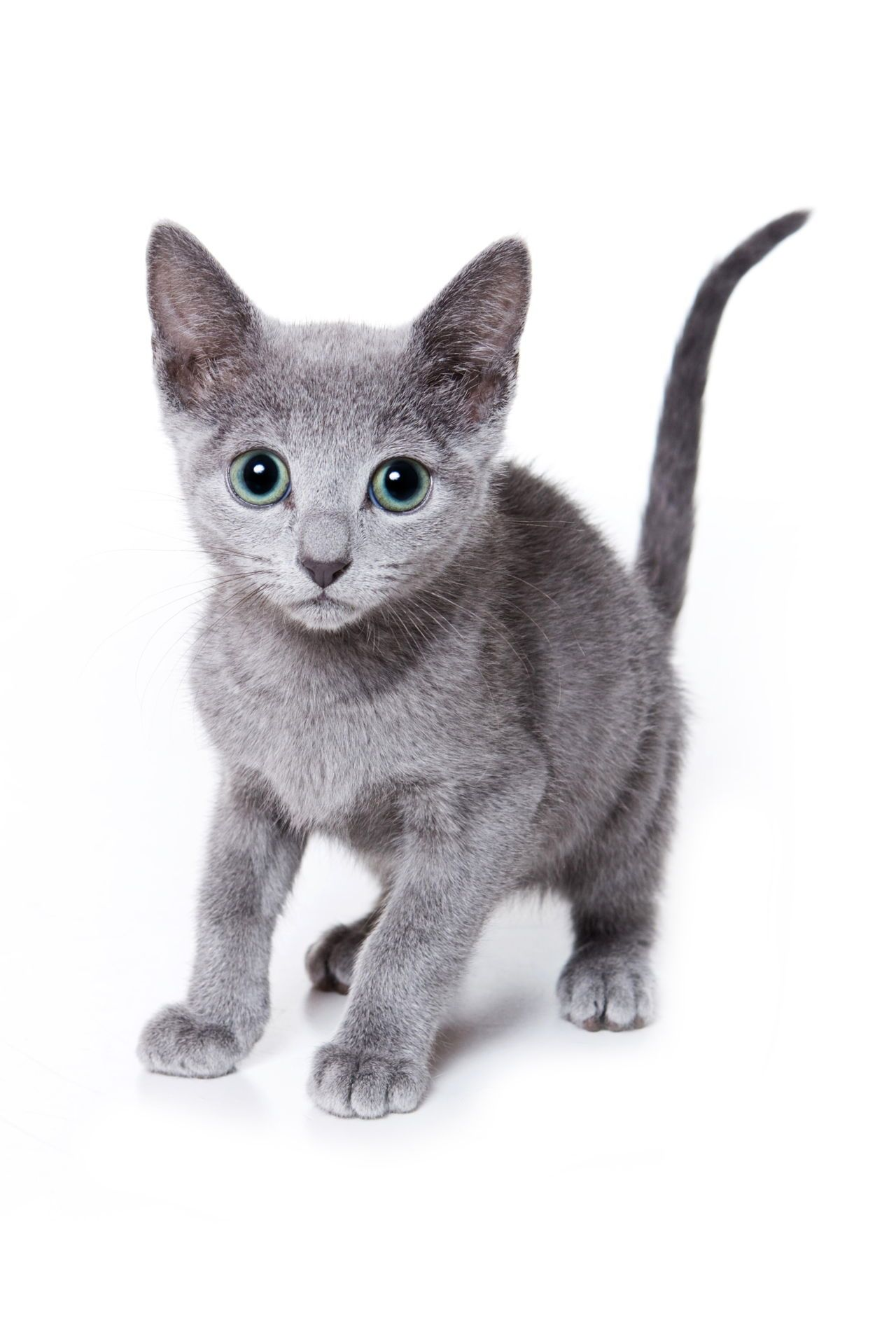 The Angel of Cuteness Russian Blue Cat Personality