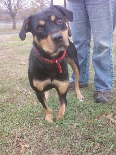 Lil Special Girl Rottweiler Dog New Milford Ct Rottweiler