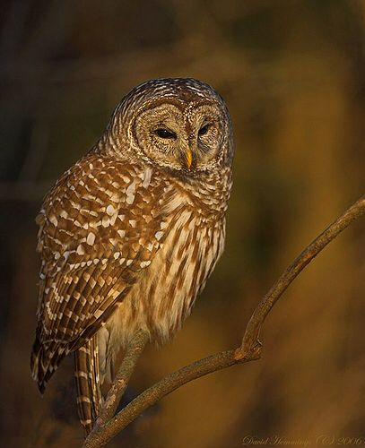 Barred Owl at the Golden Hour