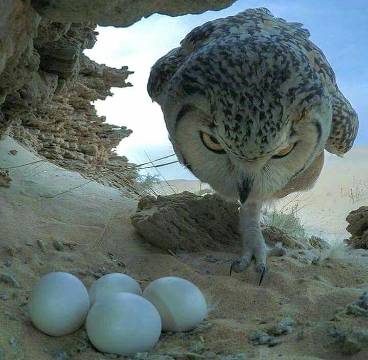 Owl with eggs   Mommas   Pinterest   Animales, Lechuzas y Anatomia ...