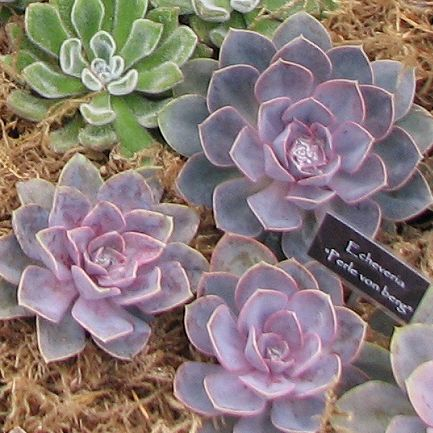 Echeveria Perle Von Nurnberg Found This At Home Depot Currently Mine Is Very Purple But Have Experience With Purple Su Echeveria Succulents Purple Succulents