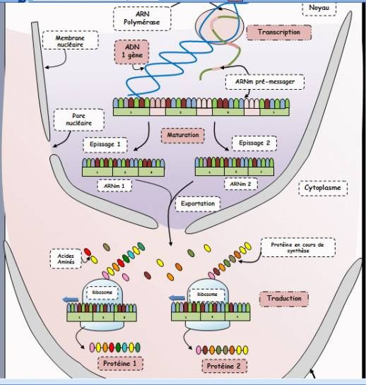 Banque de Schémas - SVT - Académie de Dijon - expression de l - new blueprint gene expression
