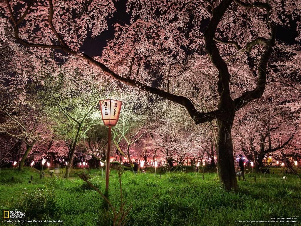 Nat Geo Travel On Twitter Cherry Blossom Japan Night Garden Cherry Blossom Pictures