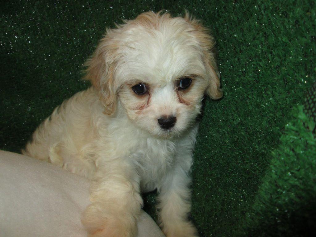 Cavachon Puppies Cavalier King Charles Spaniel X Bichon Frise Designer Mix Cavachon Puppies Puppies Cavachon
