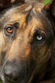 Amazing German Shepherd 2 Different Colored Eyes Love Dog