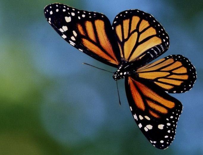 Papillon monarque en vol strange and funky stuff pinterest papillon monarque papillon et - Images de papillon ...
