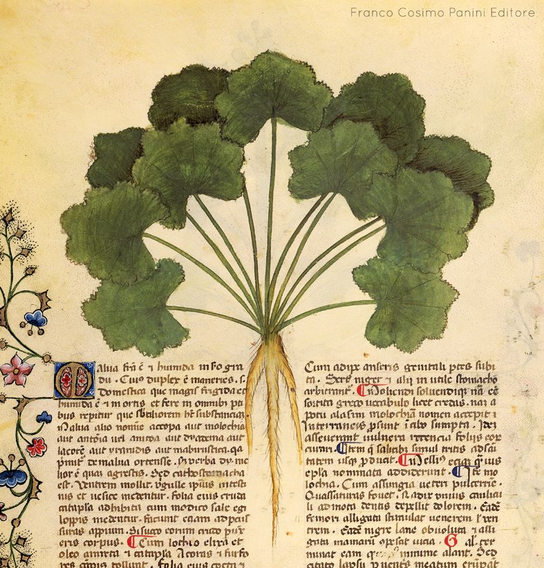 """""""Lessate con l'urina e unite a olio, le foglie di malva tolgono la forfora dal capo"""" http://www.foliamagazine.it/wp-content/uploads/2013/09/156v-malva.jpg"""