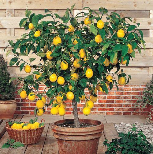 62752a Jpg 500 501 Indoor Lemon Tree Plants Fast Growing Trees