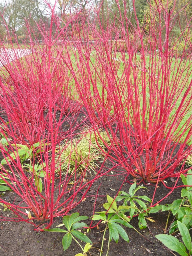red twig dogwood shown with winter red branches a great asset for