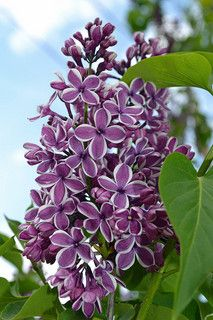Lilacs in Bloom | by houndstooth4