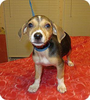 Hagerstown Md Beagle Dachshund Mix Meet Trix A Puppy For