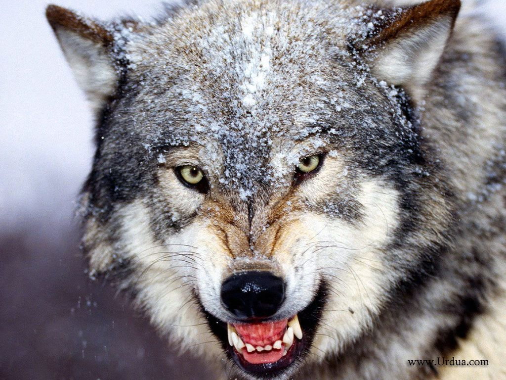 Beautiful Wallpaper Angry Gray Wolf - 544cd7d5563f900ee39782e57d66f337  Best Photo Reference_264999      .jpg