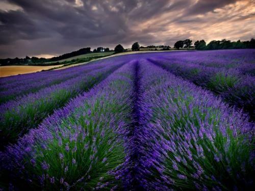 Tapety Na Pulpit Komputera Szukaj W Google Lavender Fields Flower Landscape Landscape Background
