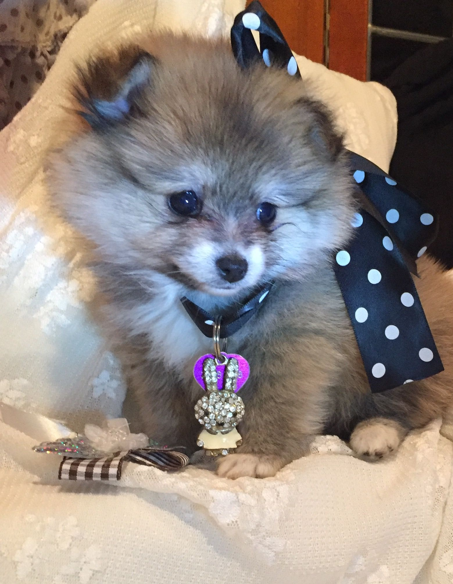 Pin By Judy Barner On Pomeranian Pomeranian Animal Planet Teacup Pomeranian