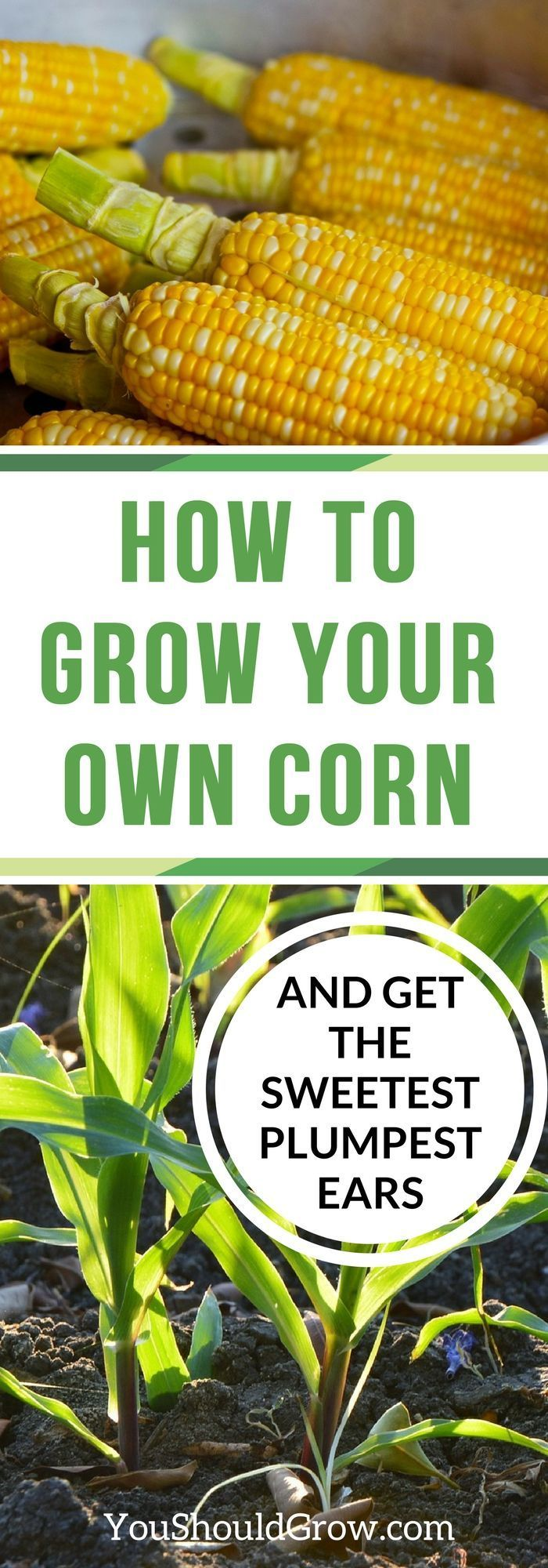 Corn For The Sweetest, Plumpest Ears Learn everything you need to know about growing corn. Click to read this in-depth article about planting, growing, harvesting and storing corn. via @whippoorwillgarLearn everything you need to know about growing corn. Click to read this in-depth article about planting, growing, harvesting and storing corn. v...