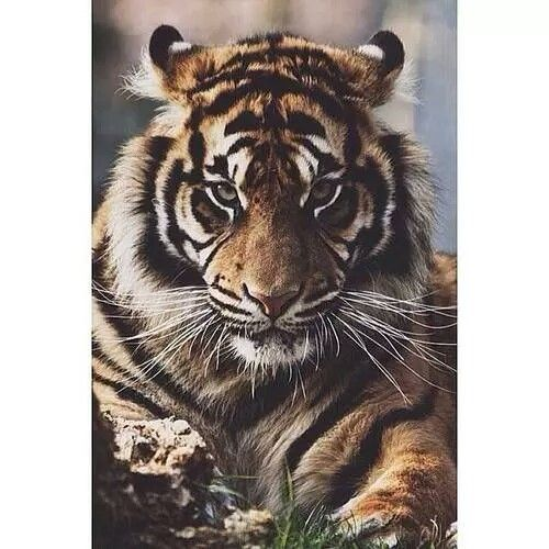 Wonderful tiger.