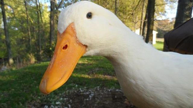 10 Quacking Facts About Ducks | Mental Floss