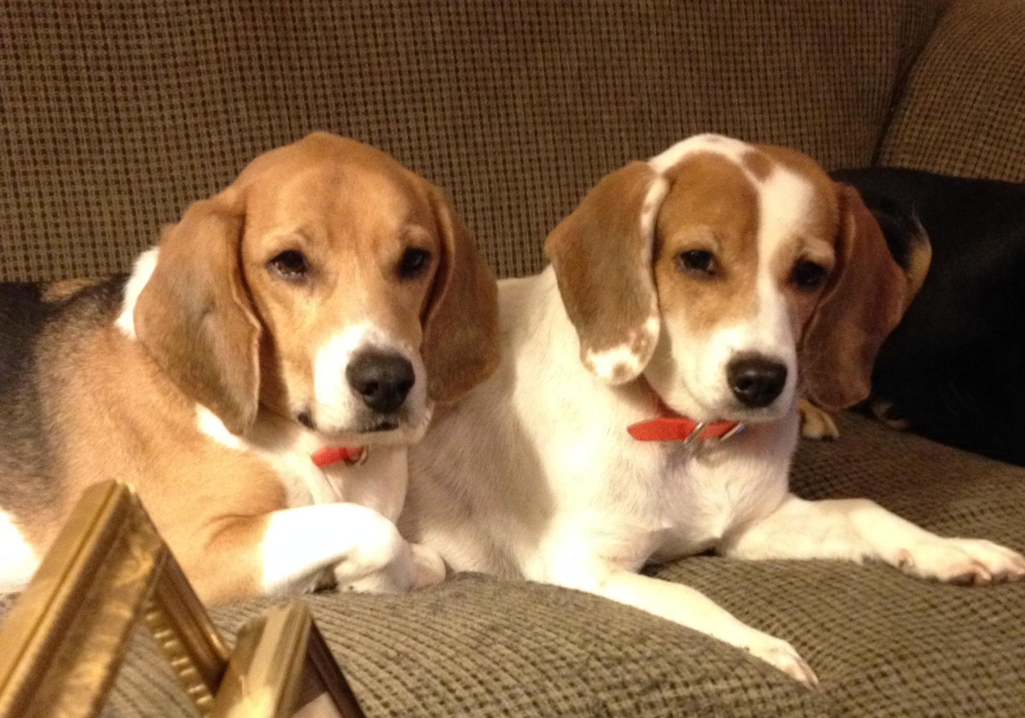 Bucket Moss Pyrex Plus Beagle Beagle Dog Dogs