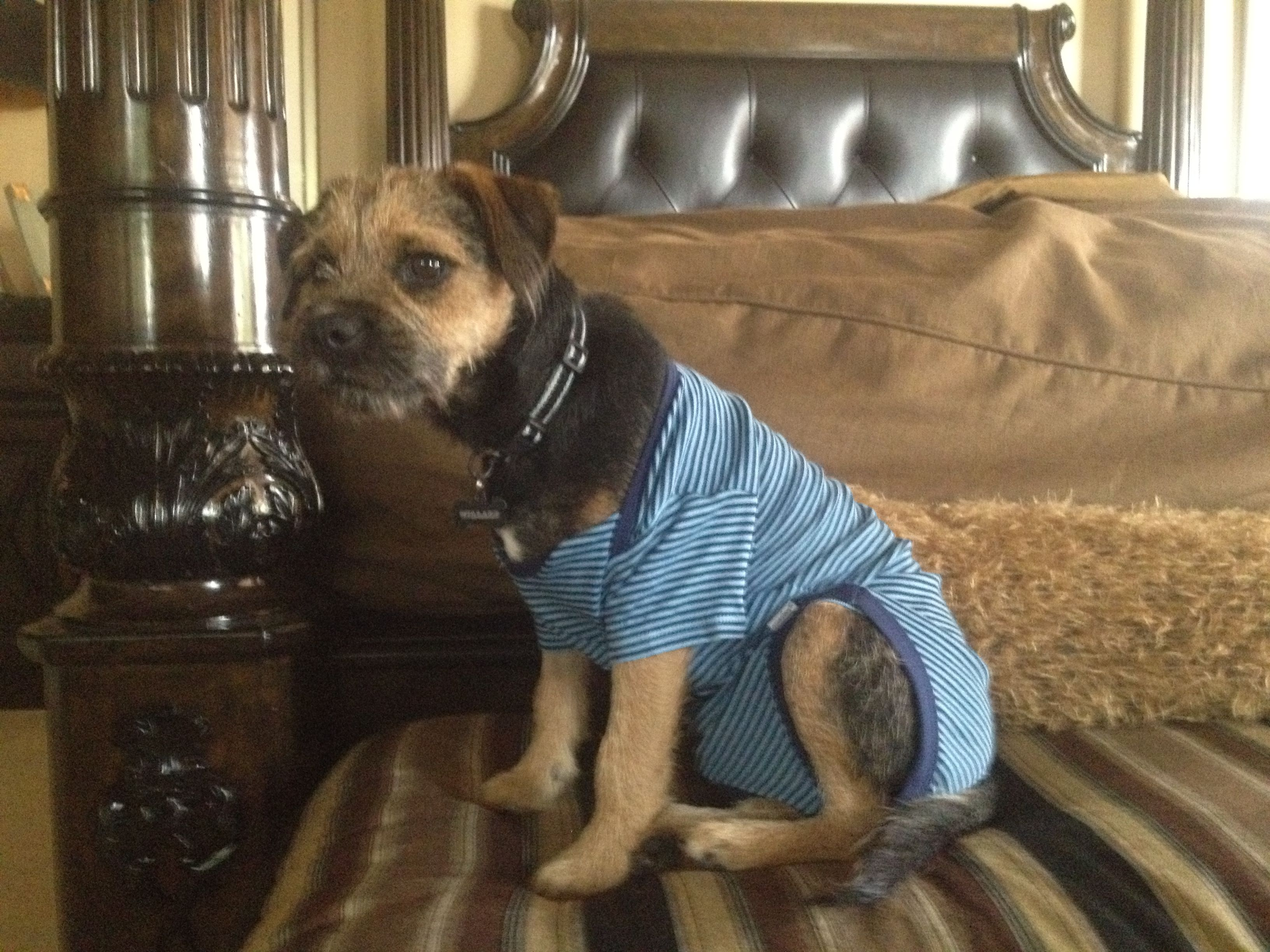 Border Terrier This Is Willard He S A Border Terrier When Your
