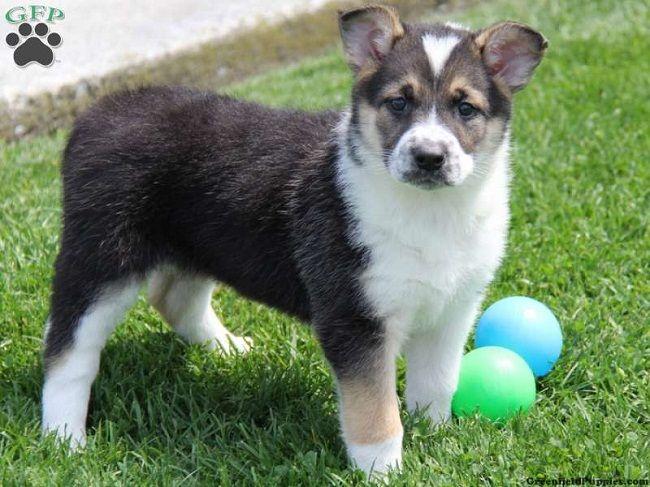 German Shepherd Husky Mix Puppies For Sale In Nc Zoe Fans Blog German Shepherd Husky Husky Mix Puppies