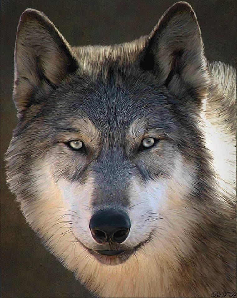 Le Loup,Un Animal fascinant ღღღ