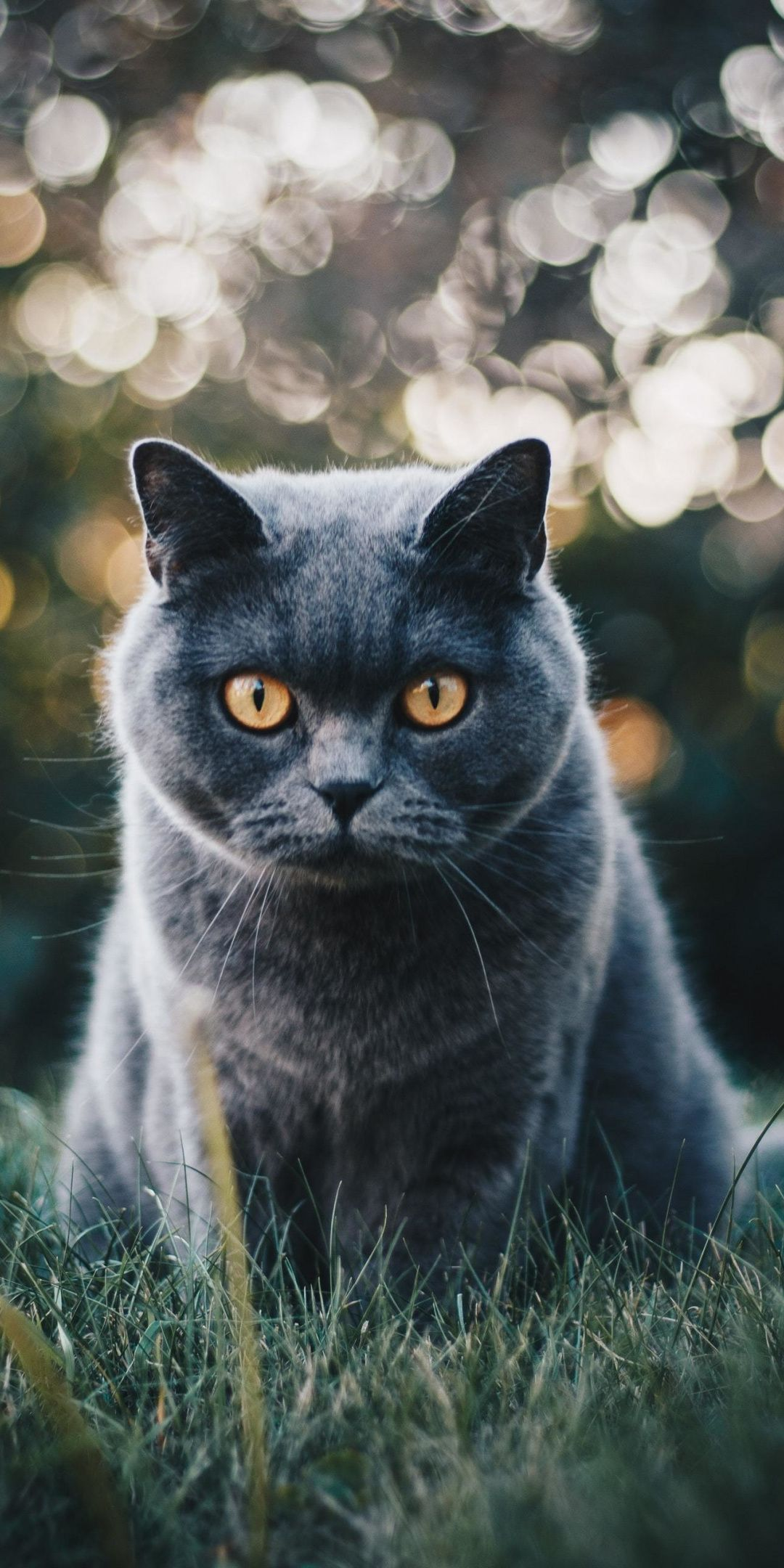 Black Cat Curious Stare 1080x2160 Wallpaper Cat Adoption Cat Breeds Cat Breeds With Pictures