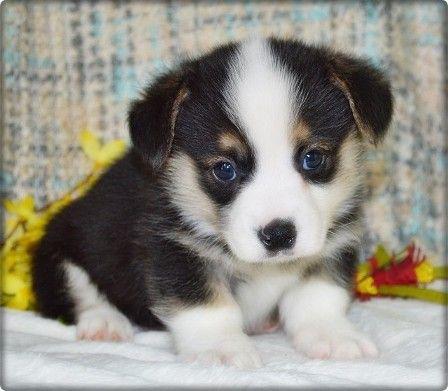 Akc Registered Corgi Puppies Akc Pembroke Welsh Corgis In Kansas