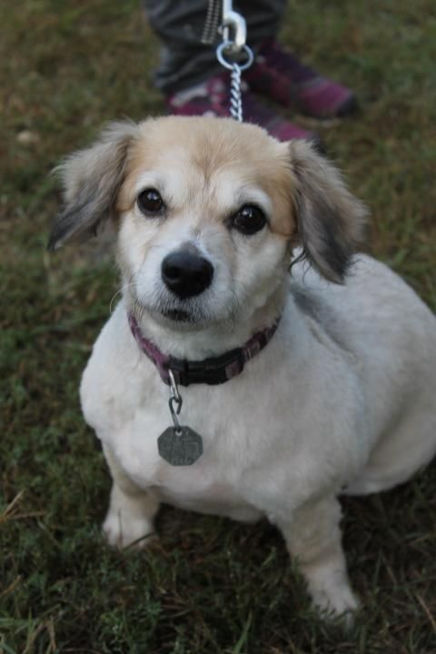 Adopt Chessy 1426 On Dachshund Mix Animals Dogs Puppies