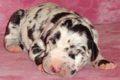Www.dnpups.com/begd  Harlequin Great Dane puppy at five days old.