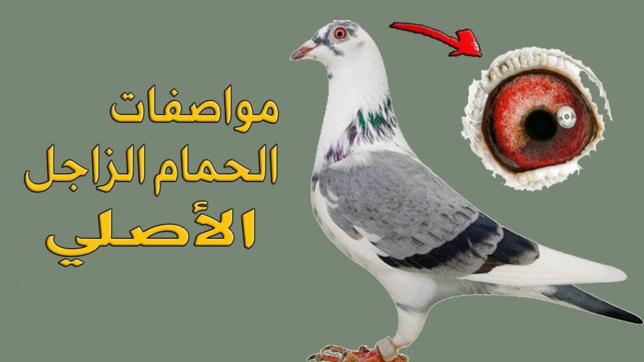 مواصفات الحمام الزاجل الاصلي Animals Bird