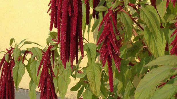 Amaranthus caudatus RED 05
