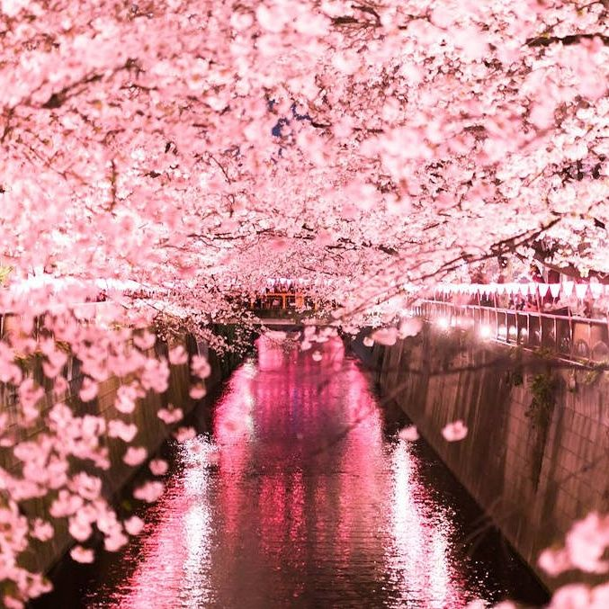 Cherry Blossom Sea Promise You Do Not Want To Move Your Steps When You See It Glitter Images Spring Pastels Lock Screen Backgrounds