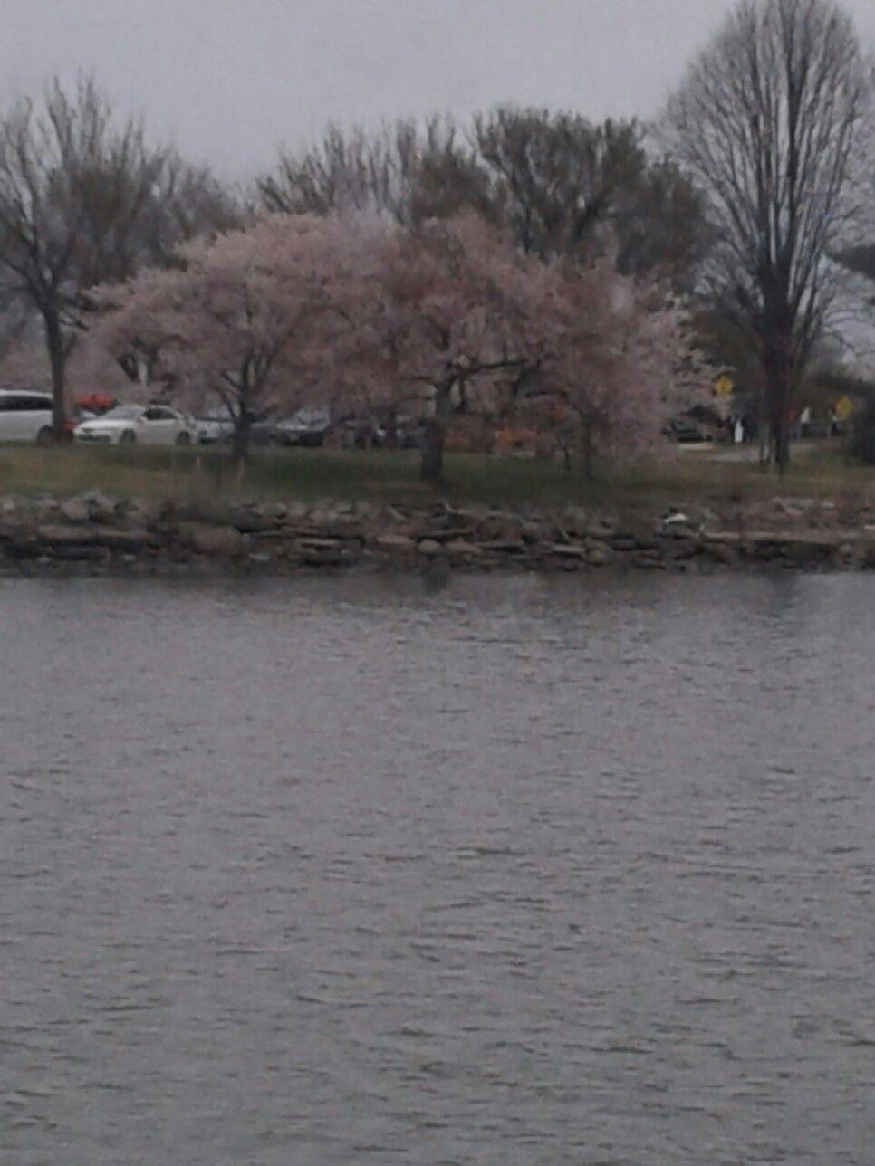Cherry Blossom  Washington D.C