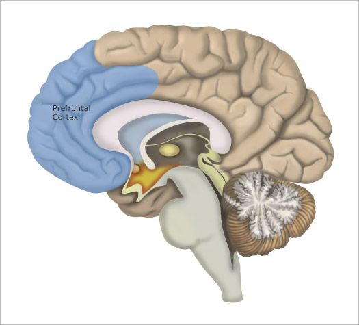 9 Functions of Prefrontal Cortex: 1.Body Regulation. 2. Attuned ...