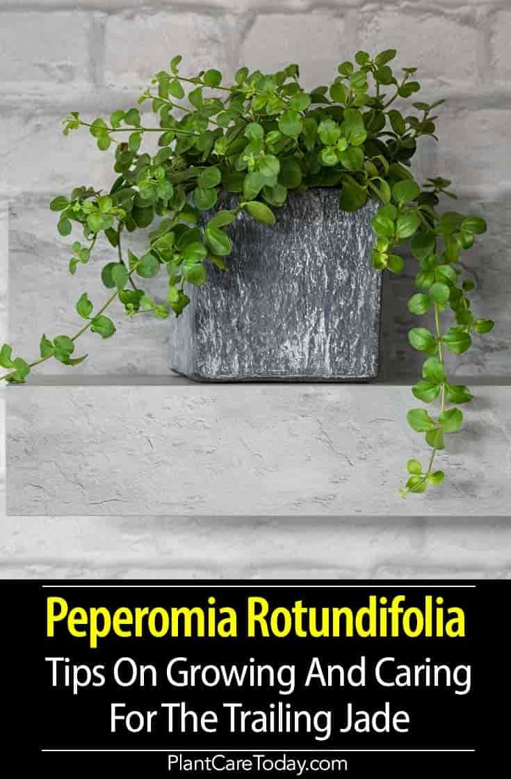 Peperomia Rotundifolia (Trailing Jade Plant) evergreen perennial, natural trailing pattern, rounded leaves, tiny non-fragrant flowers on spikes, attractive foliage. [DETAILS]