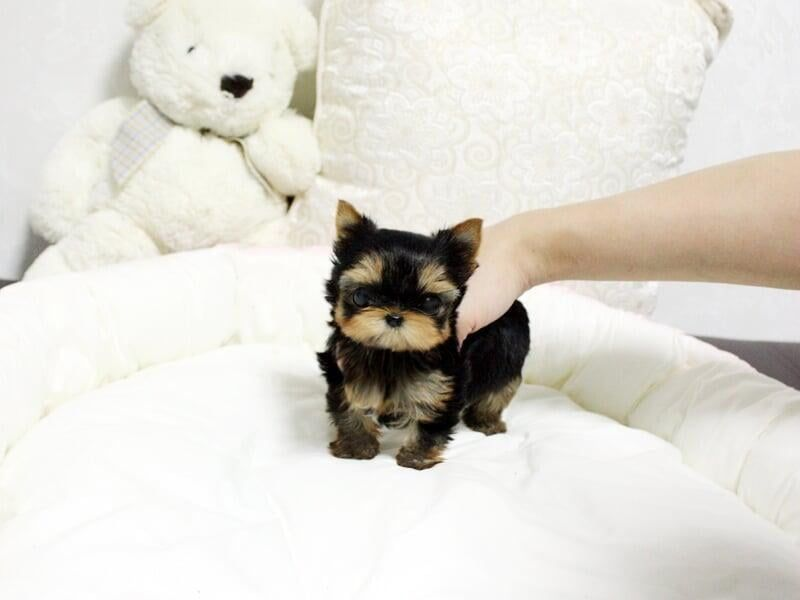 Teacup Yorkies For Sale In Usa In 2020 Yorkie Puppy For Sale Yorkie Puppy Rottweiler Puppies For Sale