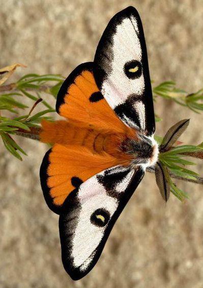 Pin Von Massimo Auf Schmetterlinge Schmetterling Nachtfalter Libellen