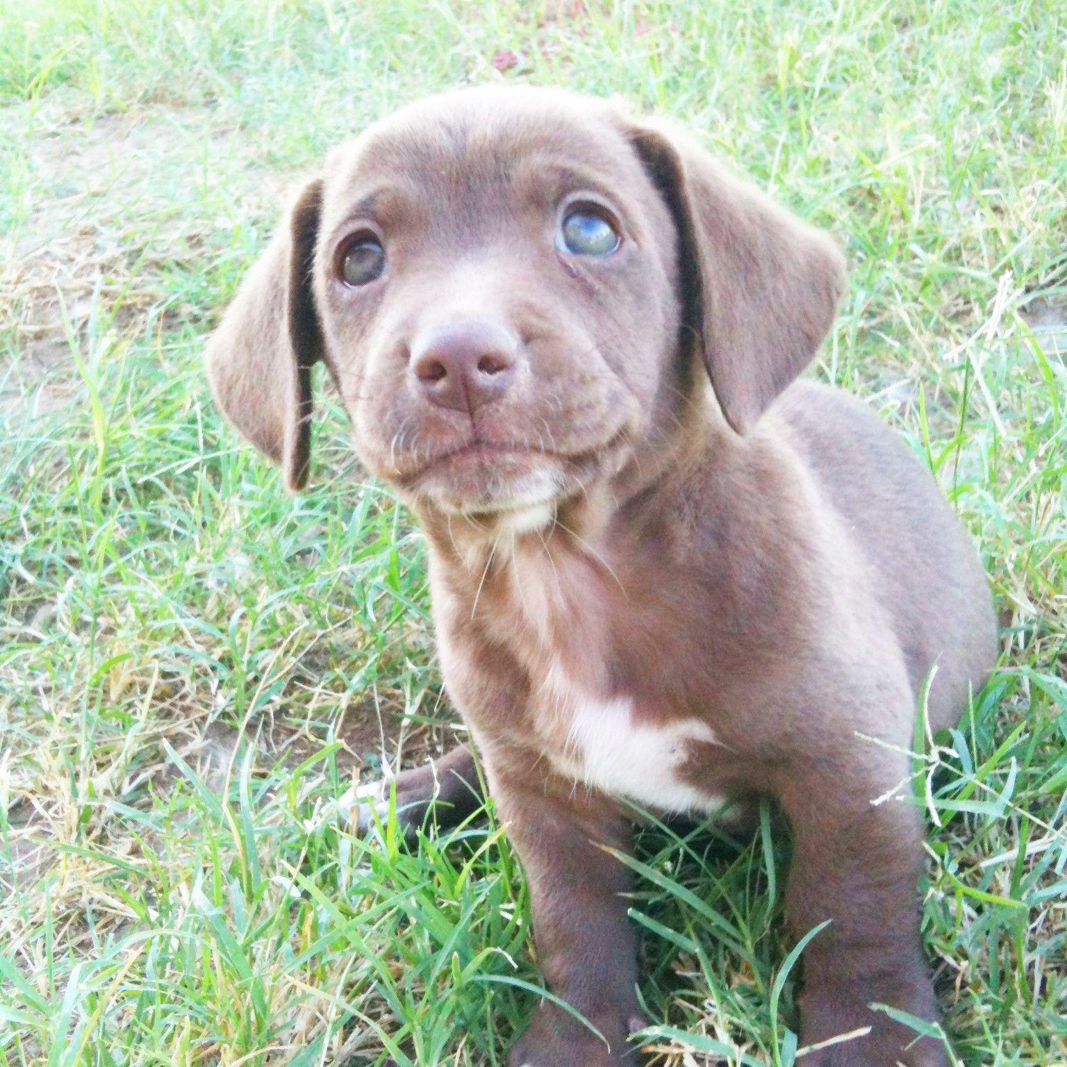Pics photos dachshund chihuahua dog mix dogs pictures photos pics - Chihuahua Weiner Dog Mix Puppy