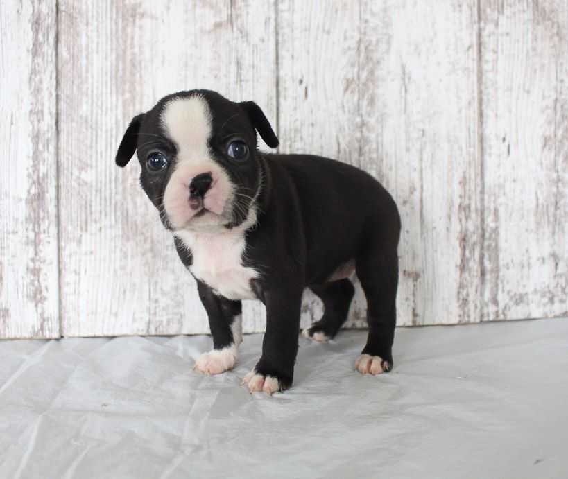 Brenda Akc Female Boston Terrier Puppy For Sale In Shipshewana