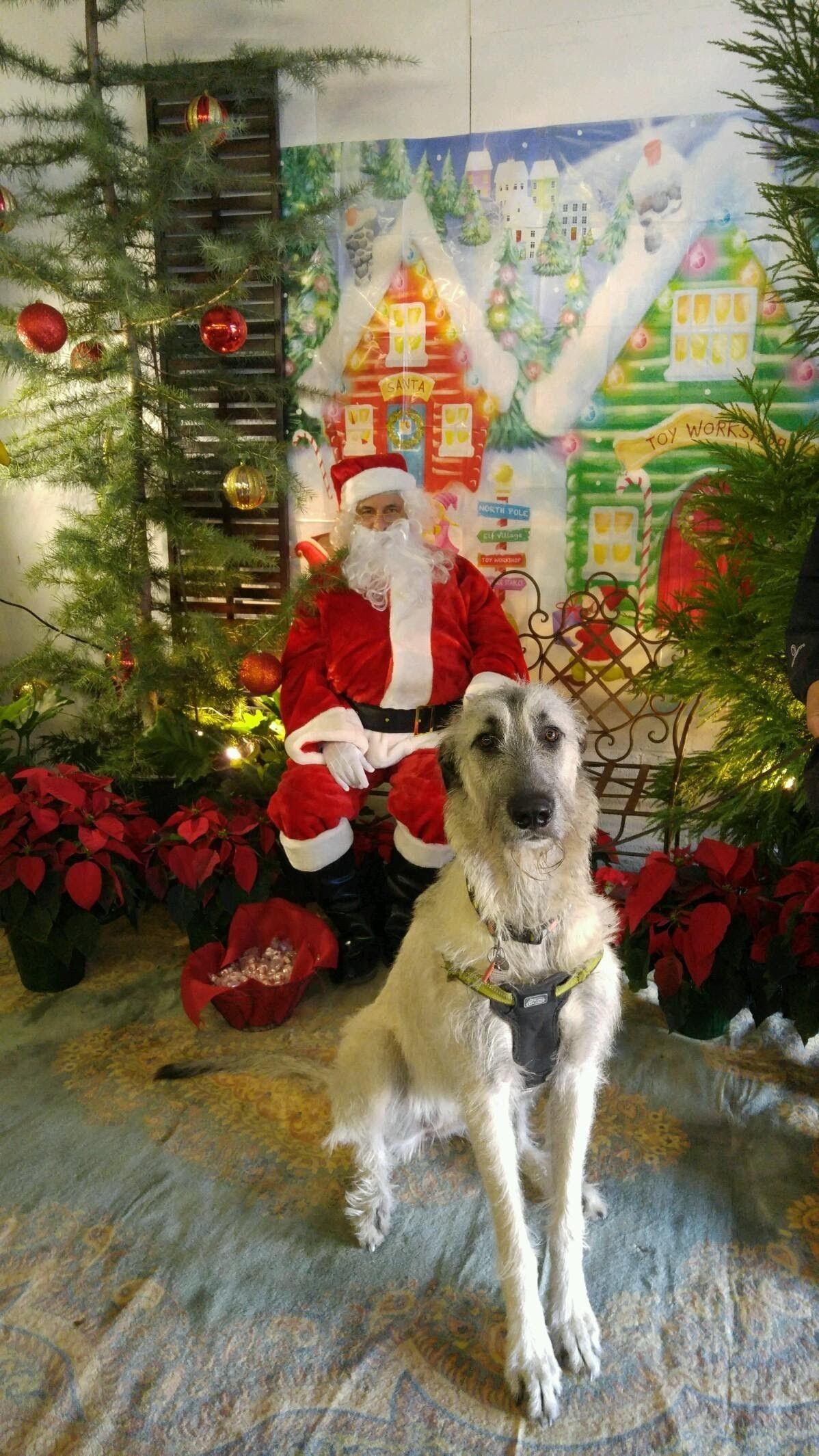 Isabel's first Christmas Irish wolfhound, Wolfhound, Lurcher