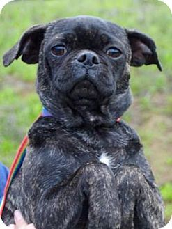 Pictures Of Lady A Pug Mix For Adoption In Sunnyvale Ca Who Needs