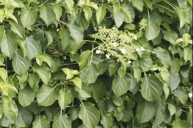 Kletterhortensie  Die Hydrangea anomala petiolaris (Kletterhortensie) ist im Gegensatz zu den anderen Hortensienarten, die Heckenpflanzendirekt.ch anbietet, eine echte Kletterpflanze.