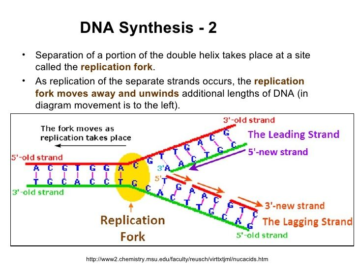 Image Result For Dna Replication Fork Diagram