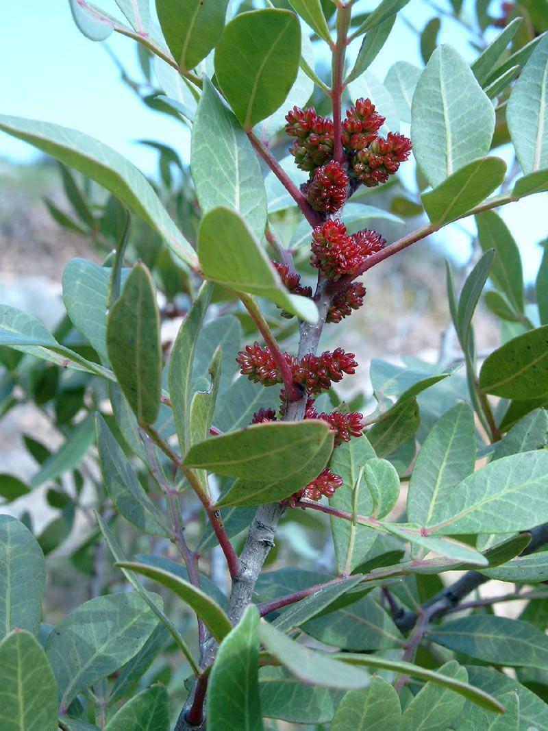 Boswellia carterii (Frankinsence) | essential oils | Mastic tree