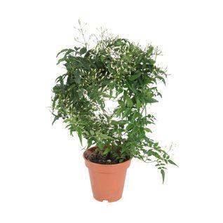 Jasmin Wielokwiatowy Planters Herbs Plants