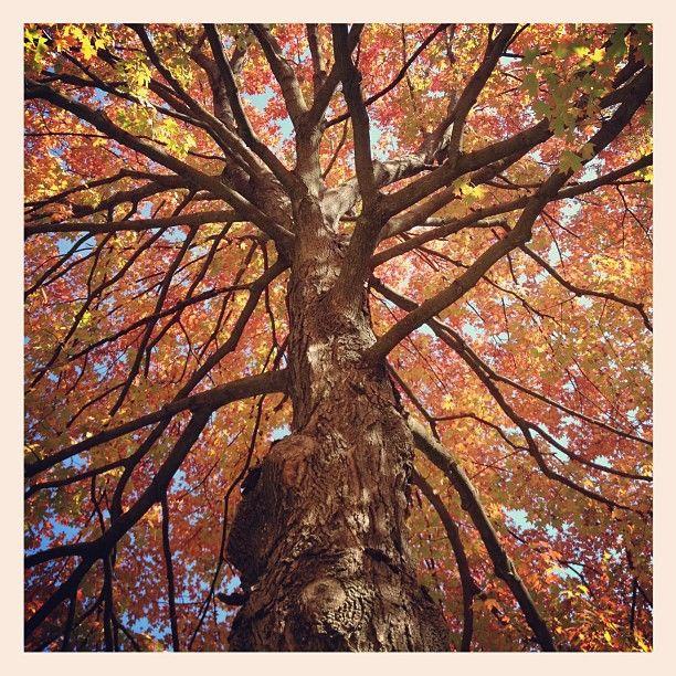 Maple tree in the Howard Neighborhood Historic District in