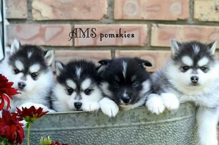 Some Of Our Beautiful Little Babies Pomsky Pomsky Puppies Pomsky Puppies For Sale