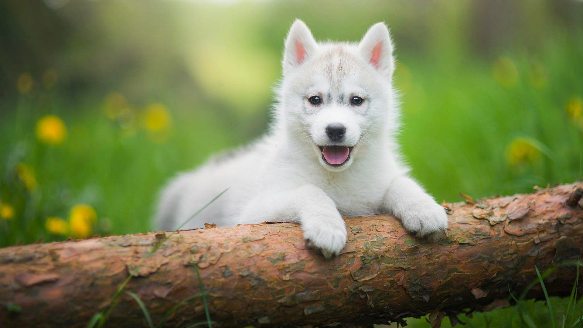 Husky Baby Wallpaper 1920x1080 Chien Animaux