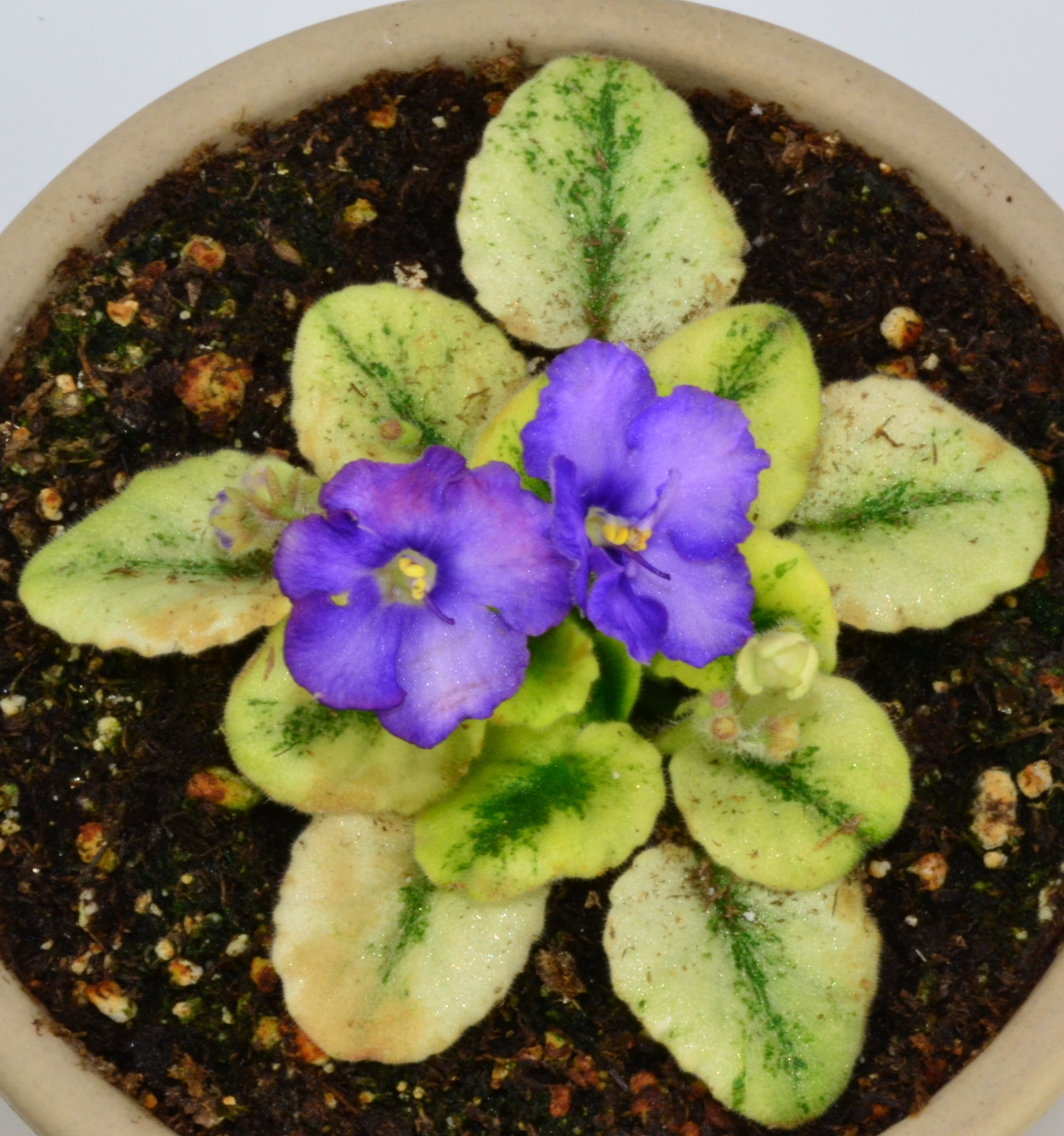 Robs Kitten Kaboodle African Violet Plant African Violets African Violets Plants Bushes And Shrubs