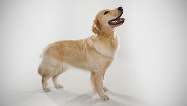 Golden Retriever Dog Breed Selector Dog Breed Selector Dog